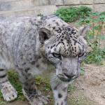 大牟田市動物園に来園して1年「ユキヒョウのおはなし会」が開催されます!4月23日(日)@カルタックス大牟田