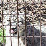 地震発生から熊本市動植物園の1年間!ユキヒョウのおはなし会に参加してきました。