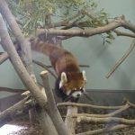 レッサーパンダの魅力って?大牟田市動物園でレッサーパンダの可愛さ再発見!