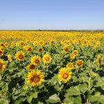 20万本のひまわり畑!10月10日まで開催。大牟田市エコサンクセンター近く