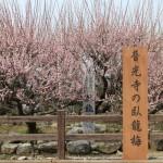 普光寺の臥龍梅(福岡県大牟田市)が見頃!春のポカポカ陽気なので散歩しました(2016)