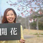 甘木山公園と延命公園で桜の開花を確認!知る人ぞ知る春の味覚スポットも