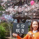 大牟田の桜開花状況チェック第三弾!間もなく満開?(2017年4月4日)