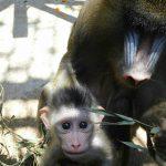 大牟田市動物園のラブラブマンドリル夫婦に赤ちゃん誕生!仲良し家族の秘訣とは?