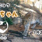 大牟田市動物園にアムールヒョウがやってきた!一般公開は1月26日から!
