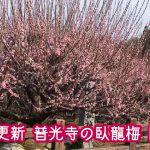 大牟田市の普光寺で臥龍梅の開花状況をチェックしてきました!【2019年2月26日更新】