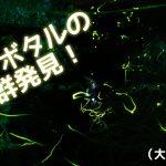 大牟田市上内でゲンジボタルの大群を発見!近年稀にみる大発生