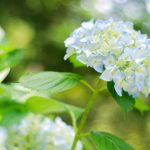 アジサイ寺(定林寺)の歩き方【2019年6月2日時点の開花状況】
