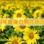 大牟田大ひまわり園2019年の開花状況チェック(大牟田市健老町)